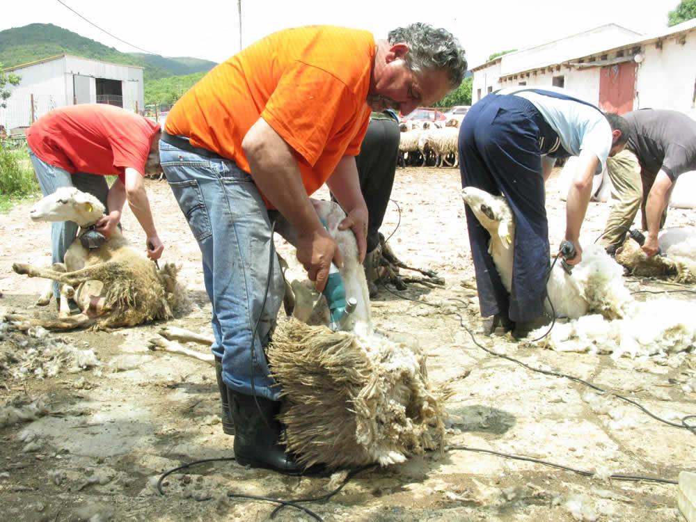 Κάθε χρόνο γίνεται η κουρά των προβάτων με τη συμμετοχή όλων των τοπικών κτηνοτρόφων.